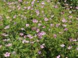 Gehölzrand - Pyrenäen-Storchschnabel, Geranium endressii, Topfballen