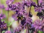 Quirlblütiger Salbei 'Purple Rain', Salvia verticillata 'Purple Rain', Topfballen