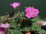 Alpine Stauden - Reiherschnabel 'Bishop', Erodium x variabile 'Bishop', Topfballen