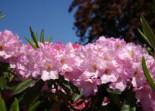 Rhododendron 'Bellefontaine', 30-40 cm, Rhododendron Hybride 'Bellefontaine', Ballenware