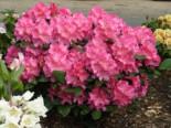 Rhododendron 'Caruso' ®, 25-30 cm, Rhododendron Hybride 'Caruso' ®, Containerware