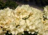 Rhododendron 'Graf Lennart', 30-40 cm, Rhododendron Hybride 'Graf Lennart', Containerware