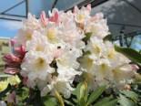 Rhododendron 'INKARHO-Dufthecke' ® weiß, 25-30 cm, Rhododendron Hybride 'INKARHO-Dufthecke'  ® weiß, Containerware