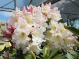 Rhododendron Hybride 'INKARHO-Dufthecke'  ®