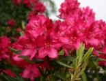 Rhododendron 'Nova Zembla', 40-50 cm, Rhododendron Hybride 'Nova Zembla', Containerware