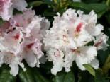 Rhododendron 'Progres', 30-40 cm, Rhododendron Hybride 'Progres', Ballenware