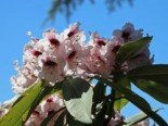 Rhododendron 'Sarastro', 20-25 cm, Rhododendron calophytum 'Sarastro', Containerware