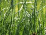 Gräser - Rohr Pfeifengras, Molinia arundinacea, Topfballen