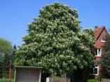 Laubbäume - Roßkastanie / Kastanie, 15-30 cm, Aesculus hippocastanum, Jungpflanzen (Topf)