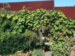 Kletterpflanzen - Rostrote Rebe / Scharlachwein, 60-100 cm, Vitis coignetiae, Containerware