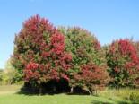 Laubbäume - Rot-Ahorn, 100-125 cm, Acer rubrum, Containerware