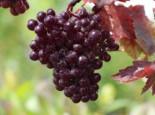 Kletterpflanzen - Rotblättrige Weinrebe, 60-100 cm, Vitis vinifera 'Purpurea', Containerware