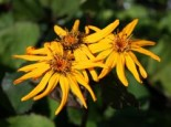 Gehölzrand - Rotblättriger Strauß Goldkolben 'Moorblut', Ligularia dentata 'Moorblut', Topfballen