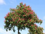 Laubbäume - Rotblühende Roßkastanie / Edelkastanie, 60-100 cm, Aesculus carnea 'Briotii', Containerware