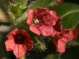 Unter Bäumen - Rotblühendes Lungenkraut, Pulmonaria rubra, Topfballen