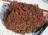 Rote Zwergberberitze / kleine Blutberberitze, 15-20 cm, Berberis thunbergii 'Atropurpurea Nana', Containerware
