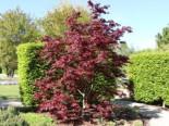 Laubbäume - Roter Fächer-Ahorn 'Bloodgood', 25-30 cm, Acer palmatum 'Bloodgood', Containerware