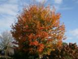 Roter Kolchischer Ahorn / Kolchischer Blutahorn, 60-100 cm, Acer cappadocicum 'Rubrum', Containerware