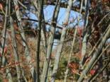Roter Schlangenhaut-Ahorn, 100-150 cm, Acer capillipes, Containerware