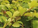Laubbäume - Roterle, 125-150 cm, Alnus glutinosa, Containerware