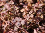 Steingarten - Rotes Stachelnüsschen 'Purpurea', Acaena inermis 'Purpurea', Topfballen