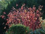Blütensträucher und Ziergehölze - Rotholz Hartriegel / Purpur-Hartriegel 'Sibirica', 100-150 cm, Cornus alba 'Sibirica', Containerware