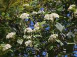 Runzelblättriger Schneeball / Immergrüner Zungenschneeball, 175-200 cm, Viburnum rhytidophyllum, Ballenware