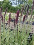 Russischer Natternkopf, Echium russicum, Topfware