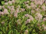 Blütensträucher und Ziergehölze - Säckelblume 'Marie Rose', 40-60 cm, Ceanothus 'Marie Rose', Containerware