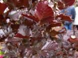 Rote Säulenblutbuche Dawyck Purple