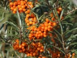Wildbäume u. Wildsträucher - Sanddorn, 60-100 cm, Hippophae rhamnoides, Containerware