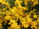 Bodendecker - Sandginster 'Vancouver Gold', 15-20 cm, Genista pilosa 'Vancouver Gold', Containerware