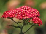 Stauden - Schafgarbe 'Paprika', Achillea millefolium 'Paprika', Containerware