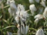 Lebensraum Wasser - Scheidenwollgras, Eriophorum vaginatum, Topfballen