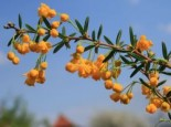 immergrüne Laubbäume - Schmalblättrige Berberitze / Dotterberberitze, 30-40 cm, Berberis stenophylla, Containerware