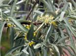 Wildbäume u. Wildsträucher - Schmalblättrige Ölweide, 60-100 cm, Elaeagnus angustifolia, Containerware
