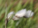 Lebensraum Wasser - Schmalblättriges Wollgras, Eriophorum angustifolium, Topfballen