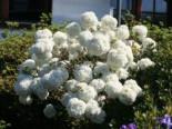 Blütensträucher und Ziergehölze - Schneeball 'Eskimo', 30-40 cm, Viburnum 'Eskimo', Containerware