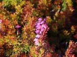 Schneeheide 'Antje', 10-15 cm, Erica carnea 'Antje', Topfware