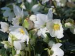 Gehölzrand - Schwarze Christrose, Helleborus niger, Topfware