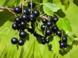 Beeren - Schwarze Johannisbeere 'Andega', 30-40 cm, Ribes nigrum 'Andega', Containerware
