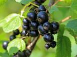 Schwarze Johannisbeere 'Dr. Bauer's Ometa' ®, 40-60 cm, Ribes nigrum 'Dr. Bauer's Ometa' ®, Containerware