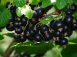 Beeren - Schwarze Johannisbeere 'Titania' (S), 30-40 cm, Ribes nigrum 'Titania' (S), Containerware