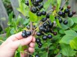 Beeren - Schwarze Johannisbeere 'Tsema', 30-40 cm, Ribes nigrum 'Tsema', Containerware