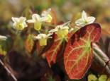 Unter Bäumen - Schwefelfarbige Elfenblume 'Sulphureum', Epimedium versicolor 'Sulphureum', Topfballen