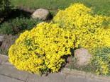 Schwefelgelbe Steinkresse 'Sulphureum', Alyssum saxatile 'Sulphureum', Topfware