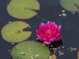 Lebensraum Wasser - Seerose 'James Brydon', Nymphaea x cultorum 'James Brydon', Topfballen