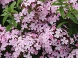 Seifenkraut, Saponaria sicula var. intermedia, Topfware