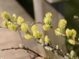 Silber-Kriechweide, 30-40 cm, Salix repens argentea, Wurzelware