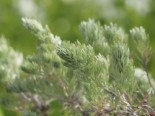 Silber-Wermut 'Mori', Artemisia stelleriana 'Mori', Topfware
